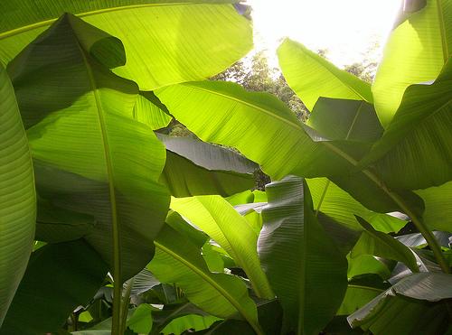 5bambouseraie-bananier